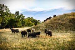 El chibarse de las ovejas Imagen de archivo libre de regalías