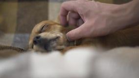 El chihuaha divertido adorable del perro duerme en la tela escocesa, movimientos de la persona de una mano del ` s un animal domé almacen de video
