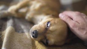 El chihuaha divertido adorable del perro duerme en la tela escocesa, movimientos de la persona de una mano del ` s un animal domé metrajes
