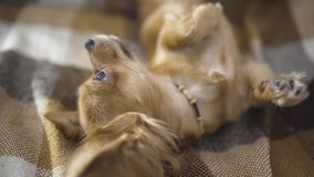 El chihuaha divertido adorable del perro duerme en la tela escocesa, movimientos de la persona de una mano del ` s un animal domé almacen de metraje de vídeo