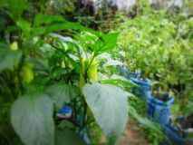 El chile planta el cultivo imagen de archivo libre de regalías