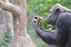 El chimpancé come el pan 2 Imagen de archivo libre de regalías