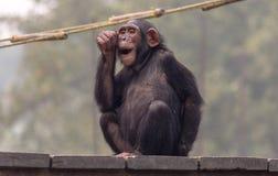 El chimpancé hace la expresión facial mientras que se sienta en un tablón de madera Imagenes de archivo