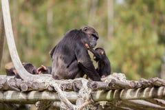 El chimpazee tímido y aúlla el parque del safari Imágenes de archivo libres de regalías