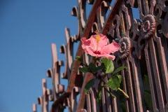 El chino rosado subió en la cerca del vintage Fotografía de archivo libre de regalías