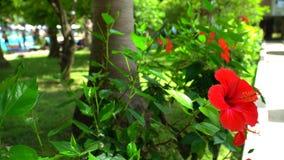 El chino subió en un fondo de la hierba verde y de la piscina El hibisco rojo metrajes