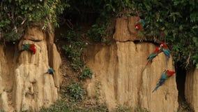 el chloropterus Rojo-y-verde del Ara de los Macaws en la arcilla se lame en Manu National Park, Perú, loros que recolectan para e almacen de video