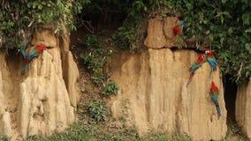 el chloropterus Rojo-y-verde del Ara de los Macaws en la arcilla se lame en Manu National Park, Perú, loros que recolectan para e almacen de metraje de vídeo