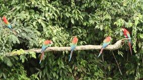 el chloropterus Rojo-y-verde del Ara de los Macaws en la rama que lucha en Manu National Park, Perú, loros que recolectan cerca d almacen de video