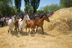 Festival of the Ñaco, El Cholar, Neuquen, Argentina. El Cholar - province of Neuquen - Argentina - February 11, 2017: Traditional wheat trillage with horses Royalty Free Stock Photography