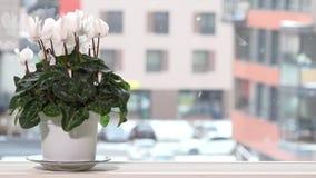 El ciclamen blanco florece en pote en travesaño de la ventana y la nieve que cae afuera en invierno almacen de metraje de vídeo