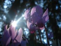 El ciclamen florece en el sol imagen de archivo libre de regalías