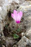 El ciclamen púrpura salvaje, flor de Israel, sobrevive entre las piedras Imagen de archivo libre de regalías