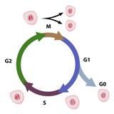 El ciclo celular Imágenes de archivo libres de regalías