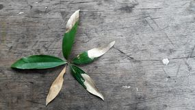 El ciclo de vida de las formas de una hoja del acacia le gusta una flor Foto de archivo libre de regalías