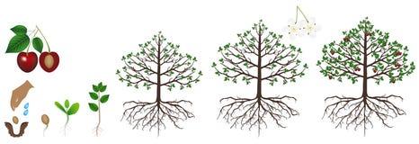 El ciclo del crecimiento de una planta de la cereza se aísla en un fondo blanco Imagen de archivo