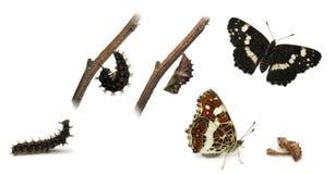 El ciclo vital de la mariposa de la correspondencia Foto de archivo libre de regalías