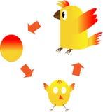 El ciclo vital de un pollo Imagen de archivo libre de regalías