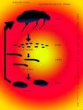 El ciclo vital de una pulga. Foto de archivo