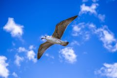 El cielo azul agradable, gaviota vuela fotografía de archivo libre de regalías
