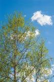 El cielo azul del árbol de abedul se nubla la primavera Fotografía de archivo libre de regalías