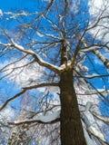 El cielo azul suave y el árbol rameado alto en la nieve festiva se visten encendido bajo luz del sol de la mañana Imagenes de archivo