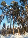 El cielo azul suave y los árboles de pino altos en la nieve festiva se visten encendido bajo luz del sol de la mañana Fotos de archivo libres de regalías