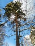 El cielo azul suave y los árboles rameados altos en la nieve festiva se visten encendido bajo luz del sol de la mañana Imágenes de archivo libres de regalías