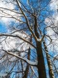 El cielo azul suave y los árboles rameados altos en la nieve festiva se visten encendido bajo luz del sol de la mañana Imagen de archivo libre de regalías
