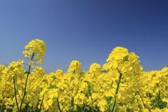 El cielo azul y la violación colocan, las cosechas del canola Imagen de archivo