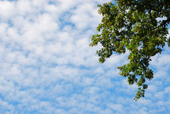 El cielo con nubes de altocumulus y una rama verde Fotos de archivo libres de regalías