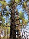 El cielo en un bosque del pino Fotografía de archivo libre de regalías