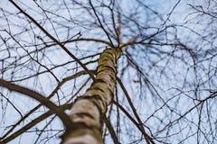 El cielo a través del abedul ramifica invierno Fotografía de archivo