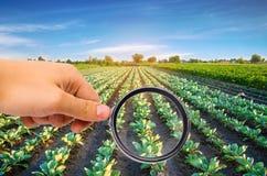 El científico de la comida comprueba la col para saber si hay sustancias químicas y pesticidas Verduras sanas pomology farming Co imágenes de archivo libres de regalías
