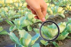 El científico de la comida comprueba la col para saber si hay sustancias químicas y pesticidas Verduras sanas pomology farming Co fotografía de archivo