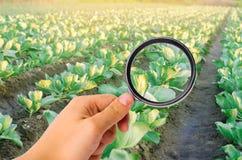 El científico de la comida comprueba la col para saber si hay sustancias químicas y pesticidas Verduras sanas pomology farming Co fotografía de archivo libre de regalías