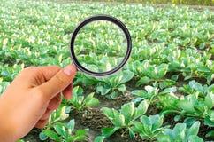 El científico de la comida comprueba la col para saber si hay sustancias químicas y pesticidas Verduras sanas pomology farming Co imagen de archivo