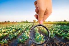 El científico de la comida comprueba la col para saber si hay sustancias químicas y pesticidas Verduras sanas pomology farming Co foto de archivo