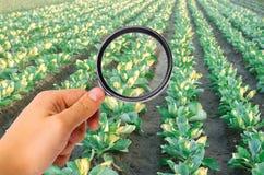 El científico de la comida comprueba la col para saber si hay sustancias químicas y pesticidas Verduras sanas pomology farming Co fotos de archivo libres de regalías