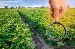 El científico de la comida comprueba las berenjenas para saber si hay sustancias químicas y pesticidas Verduras sanas pomology fa imágenes de archivo libres de regalías