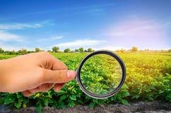 El científico de la comida comprueba las berenjenas para saber si hay sustancias químicas y pesticidas Verduras sanas pomology fa foto de archivo libre de regalías