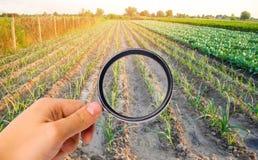 El científico de la comida comprueba el puerro para saber si hay sustancias químicas y pesticidas Verduras sanas pomology farming foto de archivo