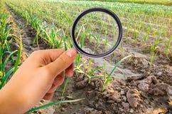 El científico de la comida comprueba el puerro para saber si hay sustancias químicas y pesticidas Verduras sanas pomology farming imagenes de archivo