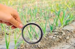 El científico de la comida comprueba el puerro para saber si hay sustancias químicas y pesticidas Verduras sanas pomology farming fotos de archivo