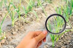 El científico de la comida comprueba el puerro para saber si hay sustancias químicas y pesticidas Verduras sanas pomology farming imagen de archivo