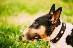 El cierre acaricia el retrato del perro de bull terrier en la hierba verde imagenes de archivo