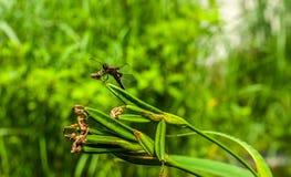 El cierre agudo de la libélula oscura grande alcanzó asentado en puntilla del iris del agua en fondo verde borroso, con placehold imagen de archivo
