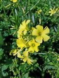 El cierre ascendente hermoso del amarillo florece 4k Foto de archivo libre de regalías