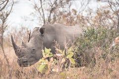 El cierre blanco del rinoceronte ascendente y el retrato con los detalles de los cuernos, la causa de escalfar y amenazan Safari  imagen de archivo libre de regalías