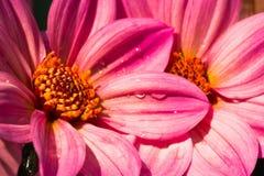 El cierre de la dalia rosada para arriba en sol Imagen de archivo